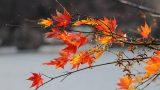 טיול מאורגן ליפן - סתיו - צביקה מעוז - יפן חוויה אחרת Explore Japan ענף בשלכת