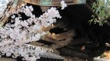 קיוטו באביב