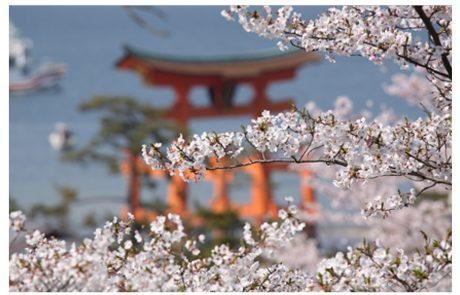 אביב הגיע, HANAMI בא! |  אילה דנון