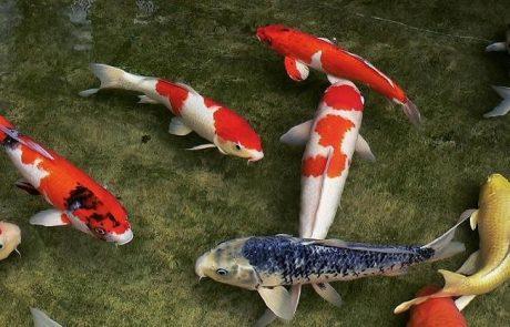 15.9.20 | על דגים וחגים: מנהגי יפן בסימן השנה החדשה   | ד״ר הלנה גרינשפון